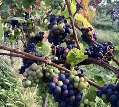 English wine grapes